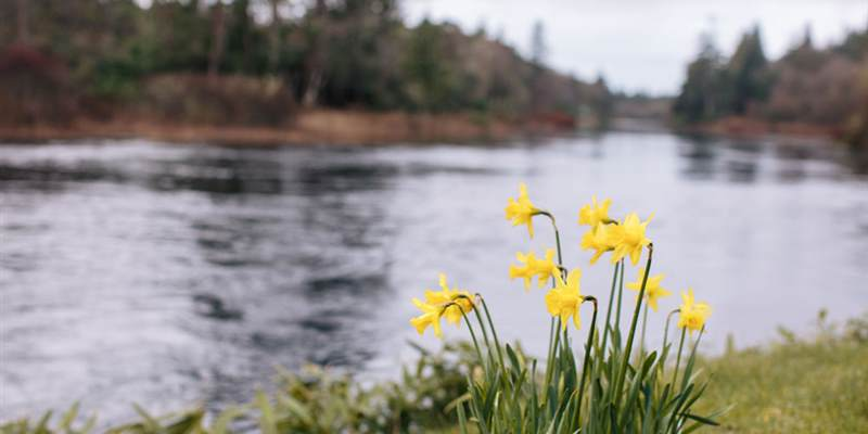 Daffodils-by-the-river
