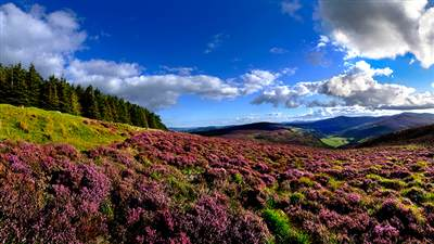 Wicklow Mountains Heather