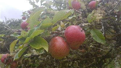 Apples from our Orchard